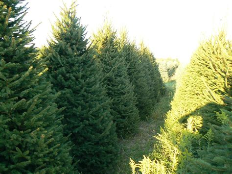 wholesale christmas trees getty tree farms in northern