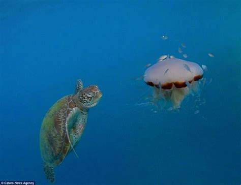 Green World Sea Fish sea turtle takes a bite out of a lions mane jellyfish