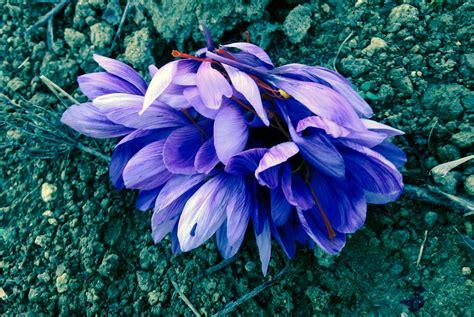 zafferano fiore lo zafferano abruzzo zafferano vendita italia