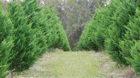 arizona cypress xmas tree wallpaper
