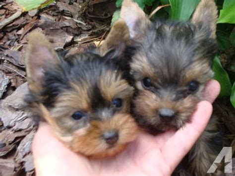 baby teacup yorkies for sale adorable baby doll yorkie puppies for sale in arcadia carolina classified