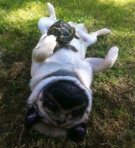 pug turtle 17 best images about pugs animal friends on chihuahuas guinea pigs and