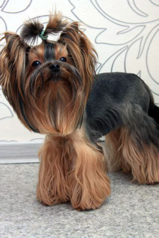 do yorkies hair or fur pictures of teddy cuts on yorkies breeds picture