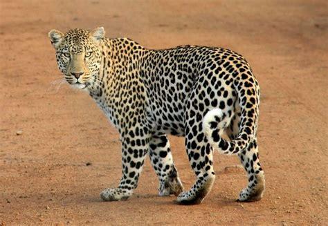 biografia de animal el leopardo caracter 237 sticas h 225 bitat reproducci 243 n