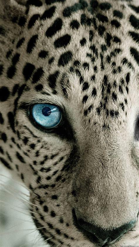 iphone 6 wallpaper snow leopard images