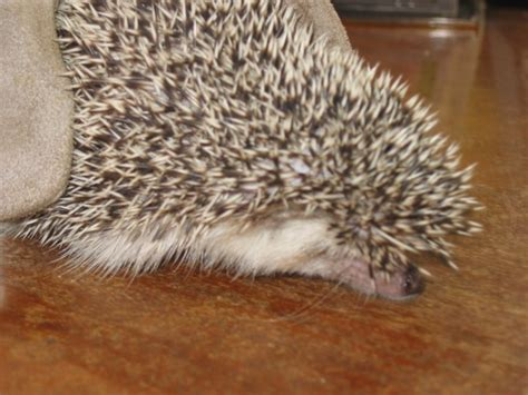 pet stores in ohio that sell puppies hedgehogs breeders in conroe tx area hedgehogs for sale in las vegas