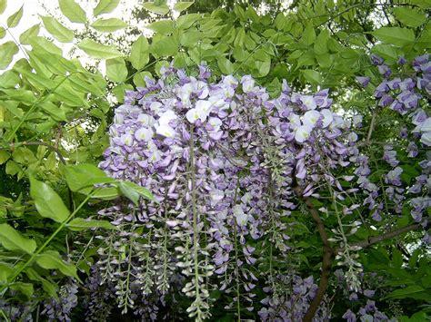 wisteria sinensis plant i d vancity