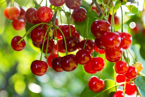 cherry tree stop q how do i prune cherry trees which gardening helpdesk