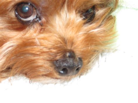 yorkie nose yorkie fed for the last 3 years rabies nose