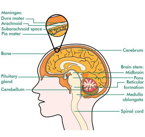 brain tumor diagram ependymomas understanding macmillan cancer support