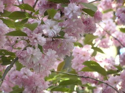1000 ideas about weeping cherry tree on pinterest