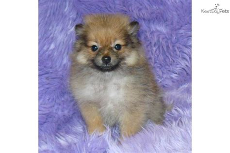 teacup pomeranian names teacup pomeranian names breeds picture