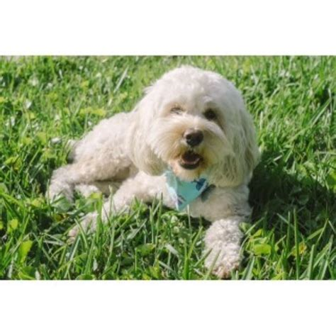 cockapoo puppies for sale in sc cockapoo breeders in south carolina freedoglistings