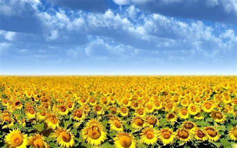 il significato dei fiori girasole significato girasole linguaggio dei fiori fiori di
