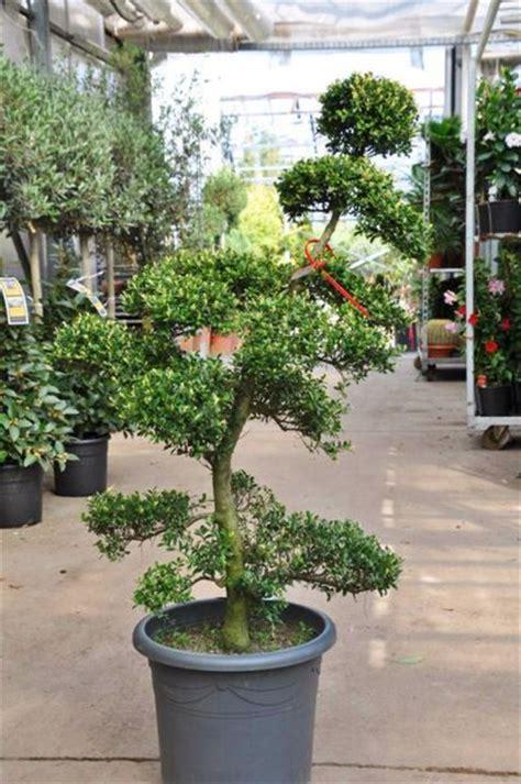 Winterharte Palmen Kaufen 121 by Garten Bonsai Der Palmenmann Auf Blumen De Kaufen