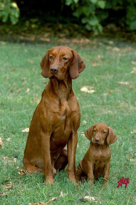 hungarian breeds magyar vizsla braque hongrois hungarian breed dogs puppys sons