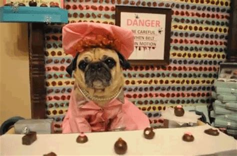 the pug factory pug working at the chocolate factory pictures photos and images for