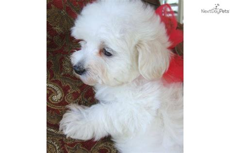 puppies dallas tx maltese puppies for sale dogs puppies next day pets find maltese breeds picture