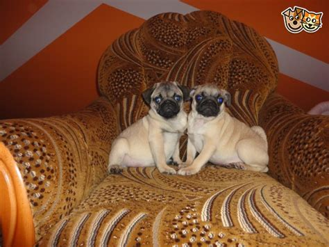 pug breeders glasgow pug puppies for sale glasgow lanarkshire pets4homes