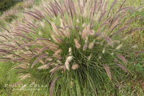 fountain grass photo stock photograph of a fountain grass