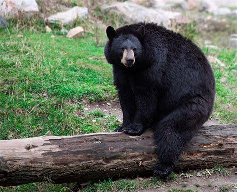 imagenes oso negro banco de im 225 genes para ver disfrutar y compartir