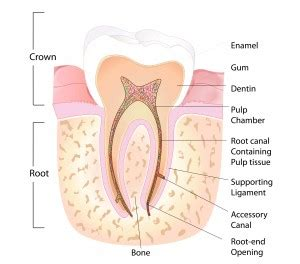 root canal diagram root canal procedure vancouver kitsilano alma dental