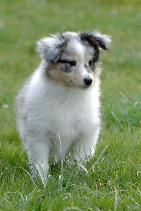 sheepdog puppy shetland sheepdog puppy shelties