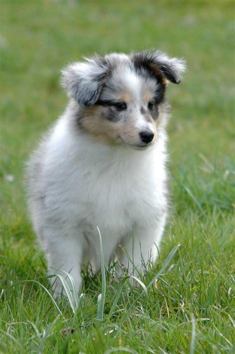 shetland sheepdog puppy shetland sheepdog puppy shelties