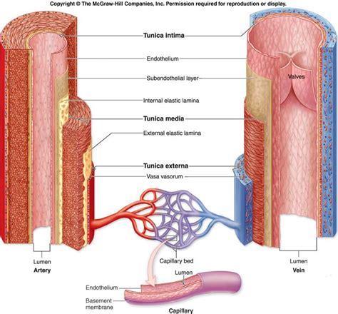 blood vessels diagram ex 3 blood vessels biology 254 with charlene shunick at