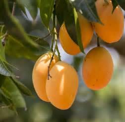 king of fruits history of mango pitara kids network