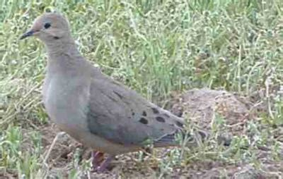 wild mourning dove turned pet