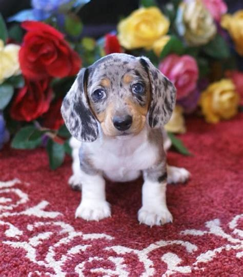 dachshund mix puppies for sale how does a dachshund dalmatian mix dachsation look like size height temperament