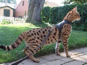cat largest domestic cat that looks like a