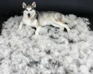 How Often Do Huskies Shed by Siberian Husky Puppies