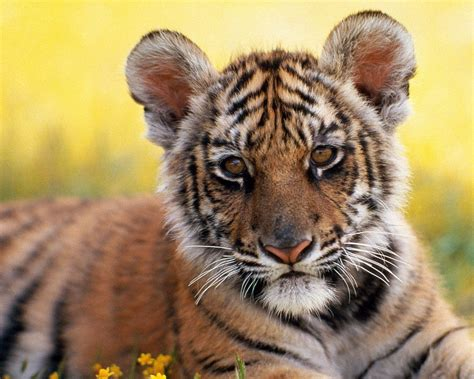 google images tiger tiger cub relaxing google skins tiger cub relaxing google