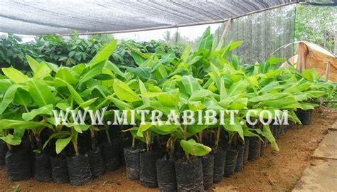 Bibit Pisang Seribu cv mitra bibit pisang ambon dan jenis jenis pisang