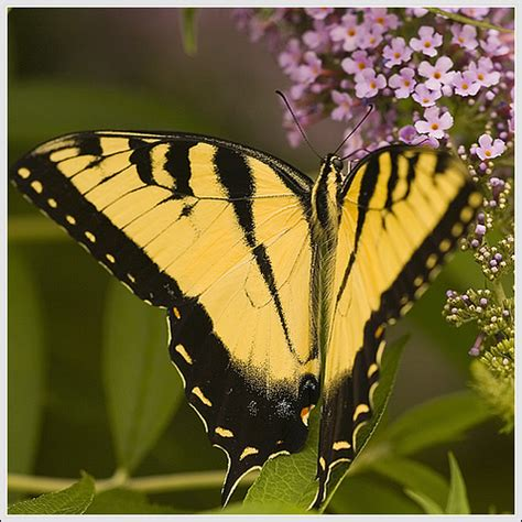 Big Butterfly big yellow butterfly flickr photo