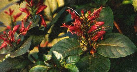 Obat Herbal Sakit Uci Uci cara menanam tanaman obat herbal dan jamu tradisional