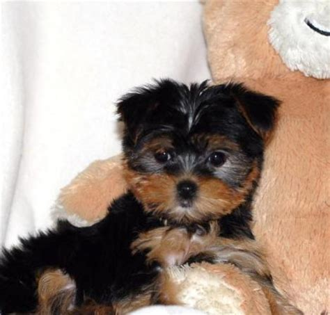 raising a teacup yorkie teacup yorkie puppies for adoption home raise teacup