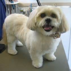 lhasa apso puppy cut 156 best images about llaso apso dogs on