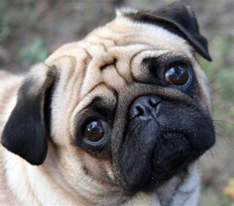 pugs faces pug breeds picture