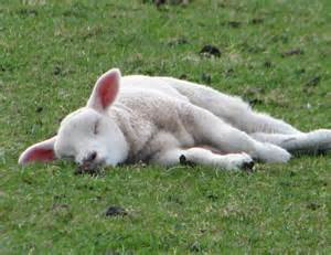 Image result for sleeping sheep