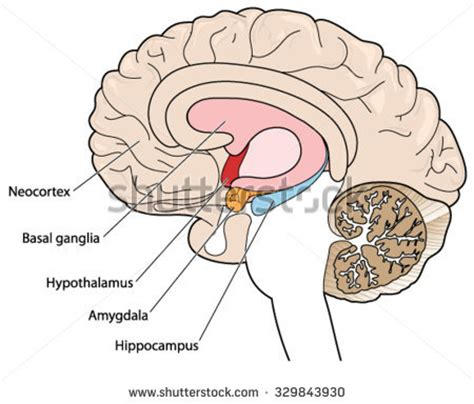 11 schematic wiring diagram of the basal ganglia 25