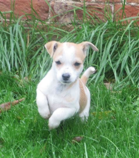 puppies to go last one to go jackahuahua puppy for sale stroud gloucestershire pets4homes