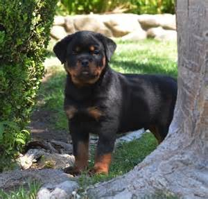 german rottweilers for sale best 25 german rottweiler ideas on