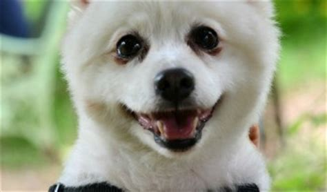 pomeranian are they hypoallergenic hypoallergenic dogs