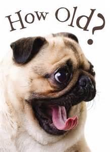 17 mejores ideas sobre feliz cumplea 241 os de perro doguillo en cachorros de doguillo