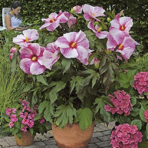 as garten riesen stauden hibiskus kopper king kaufen bei