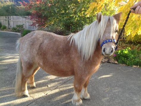 Tas Palomino Sale miniature pony mare 500 00 carrick tas 7291 gorgeous