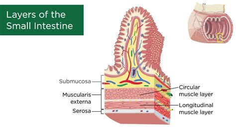 what are the 3 sections of the small intestine layers of the small intestine youtube